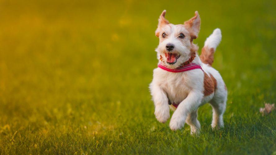 perro corre hierba animales wallpaper