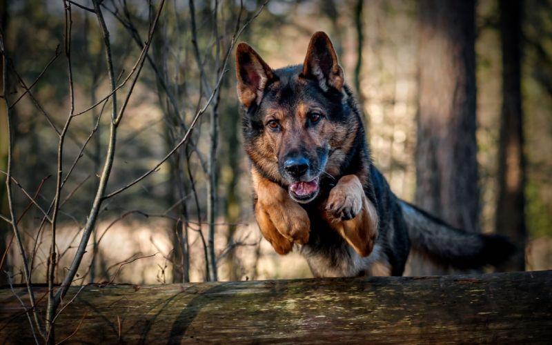 animales perro pastor aleman salto wallpaper
