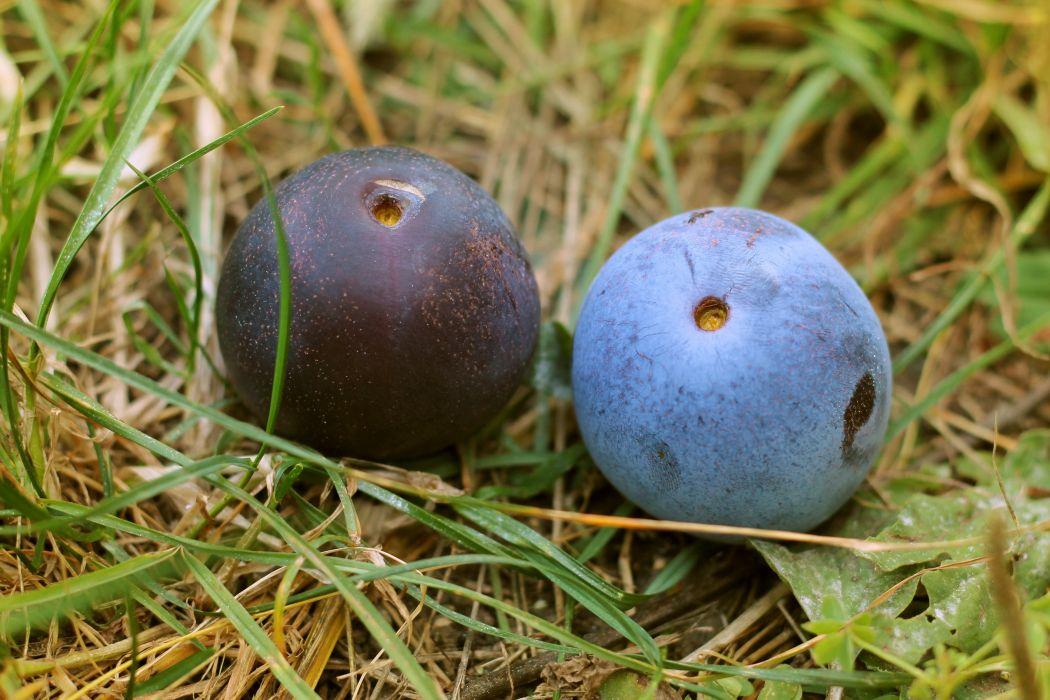 plum fruit ripe summer grass wallpaper