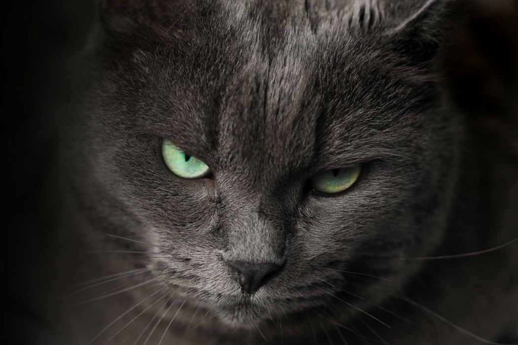 cat eyes grey portrait wallpaper