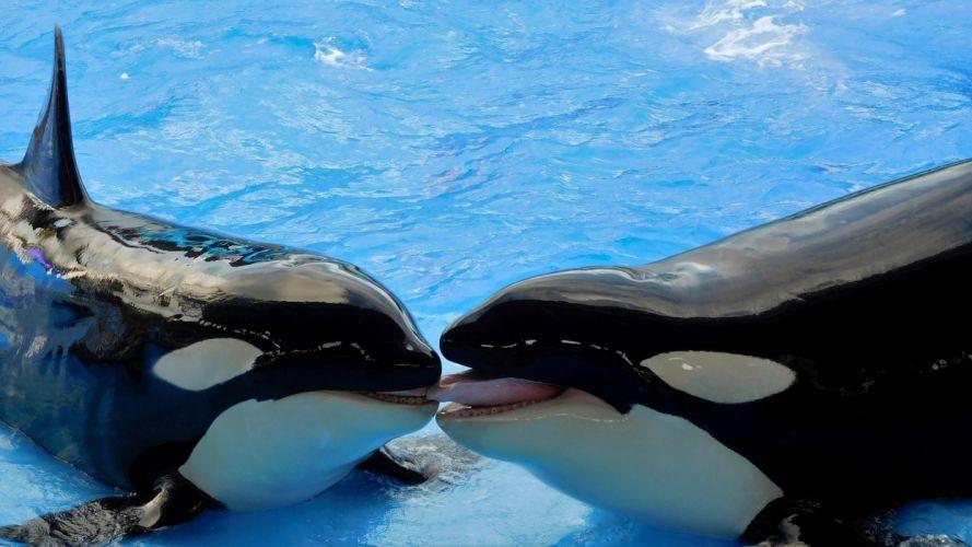 orcas piscina animales wallpaper