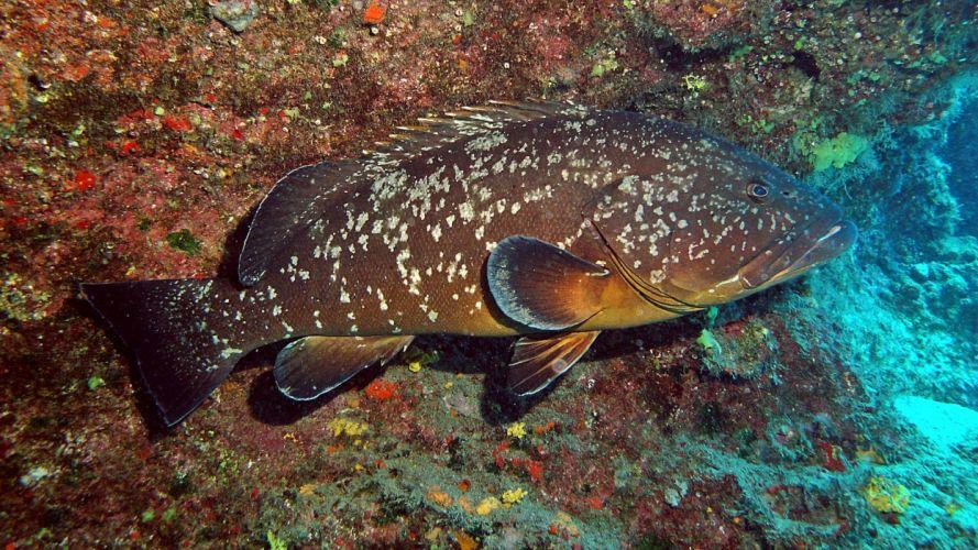Mero pez marino animales wallpaper