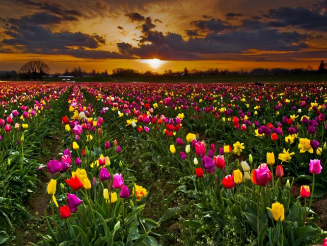 flowers plantation clouds field sky tulips sunset wallpaper
