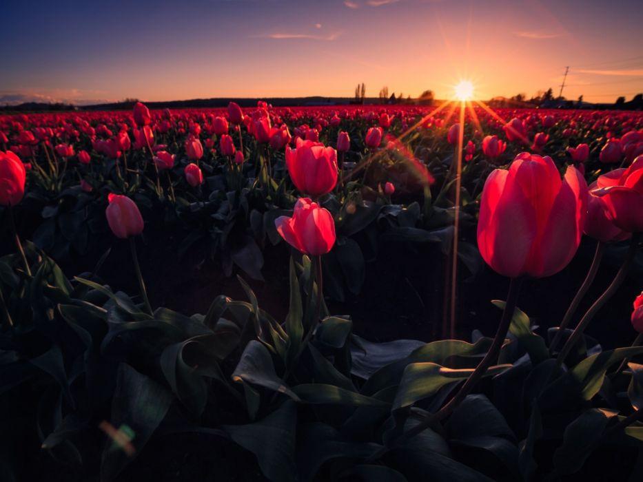flowers rays field meadow sky tulips sunset wallpaper