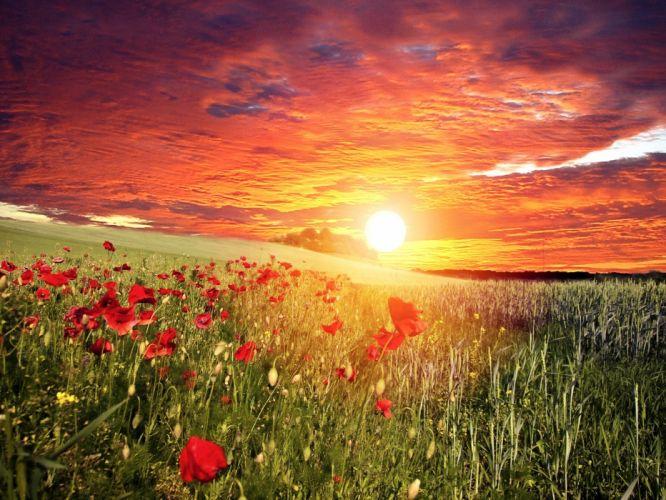 flowers red field poppies sun sky grass clouds sunset wallpaper