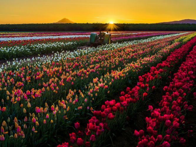 flowers tractor nature tulips field sun sunset USA wallpaper