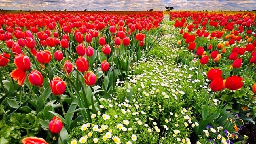 -flower-tulips-red-fields-white-field-spring-clouds-flowers-nature-sky-green-row-planet wallpaper