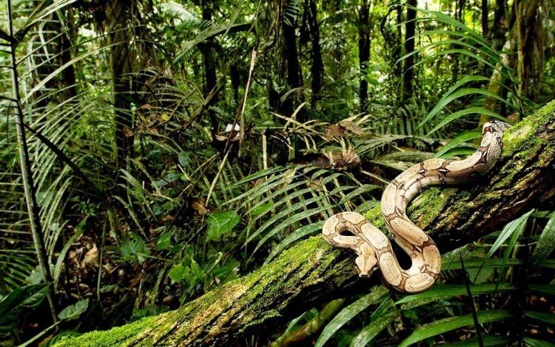 boa contrictor reptiles animales selva wallpaper