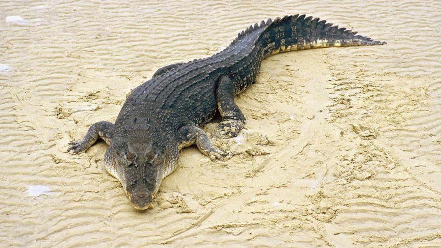 animales reptiles arena cocodrilo wallpaper