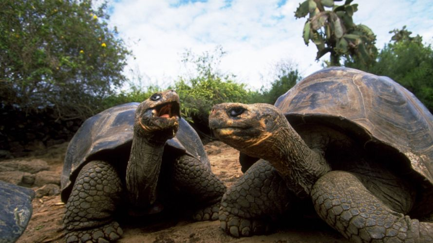 tortugas galapagos reptiles animales wallpaper