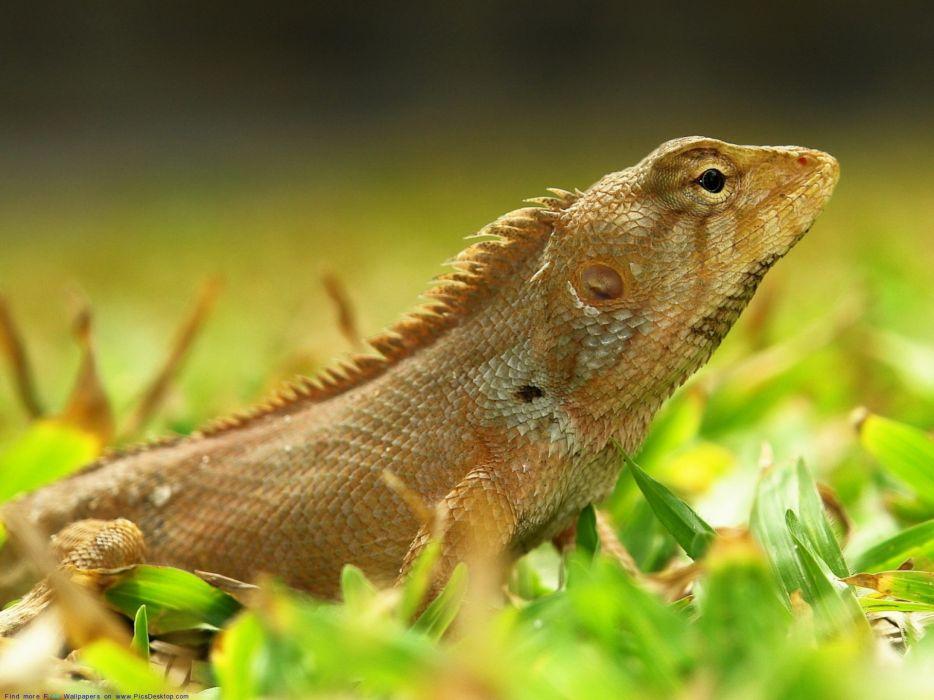 iguana reptil animales wallpaper