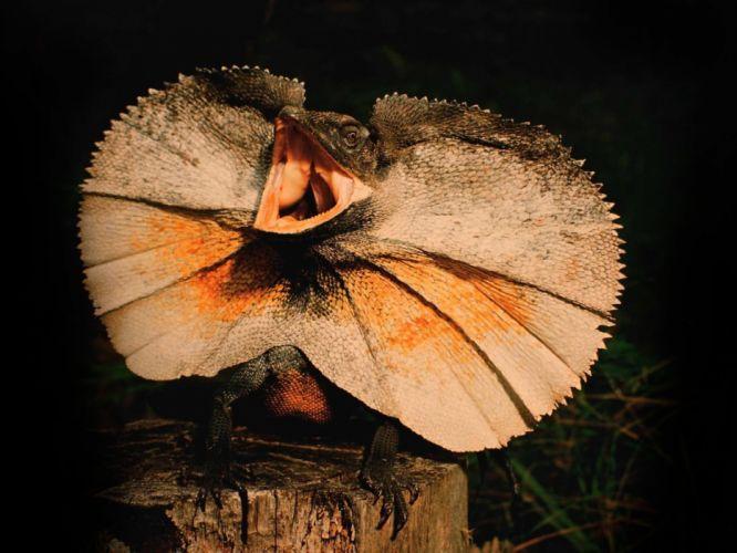lagarto reptil animales wallpaper