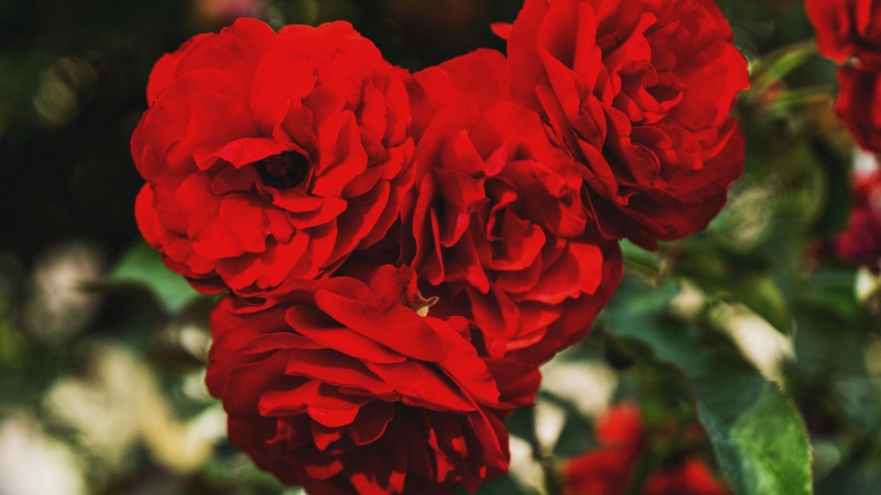 red-roses-buds-branches wallpaper