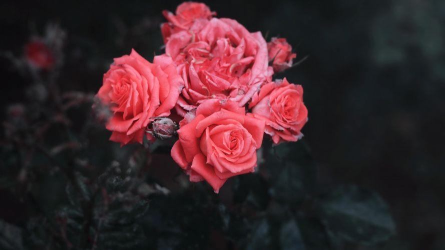 roses-bush-buds wallpaper