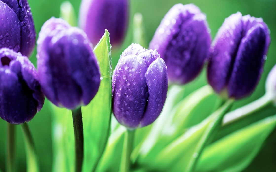Blue tulips wallpaper
