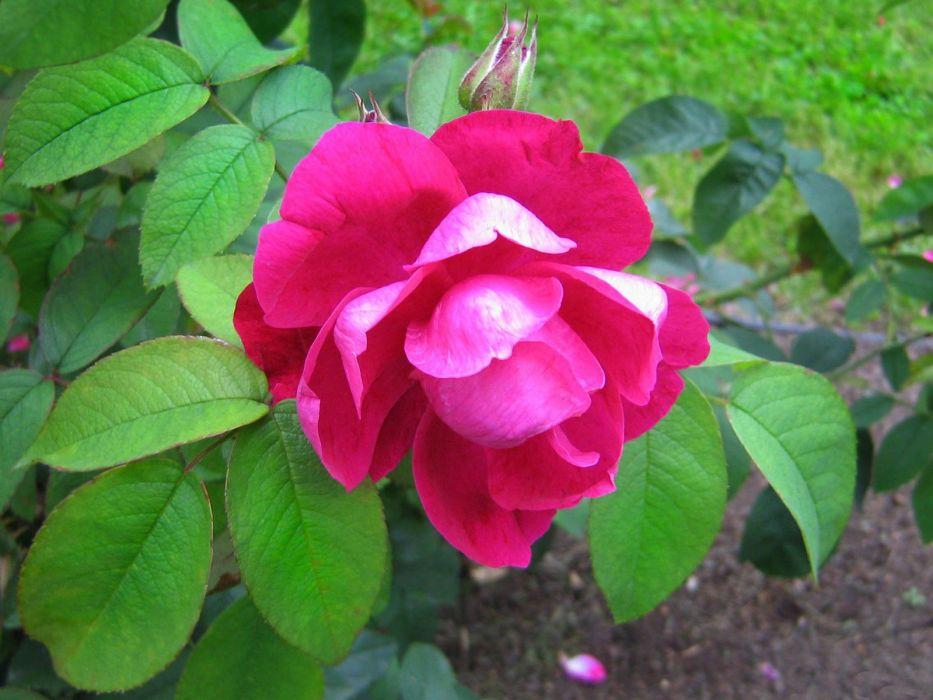 Crimson Rose wallpaper