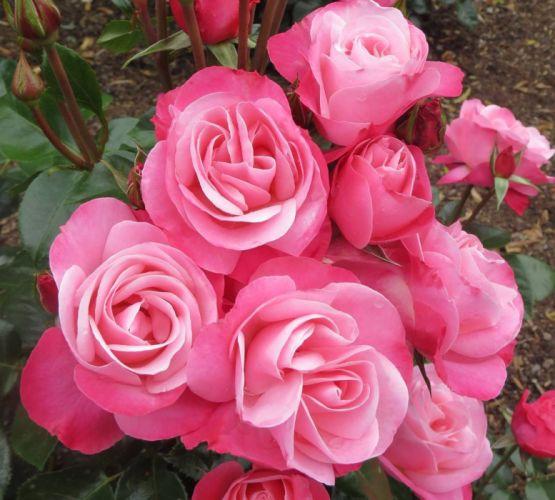 pink roses macro wallpaper