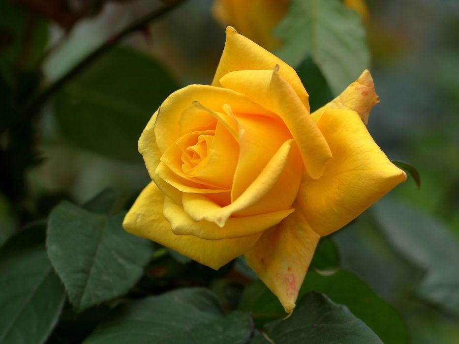 rose petals bud yellow rose wallpaper