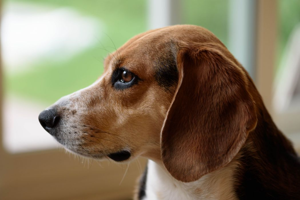 adorable animal beagle canine close-up cute dog pet wallpaper