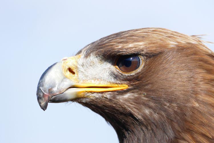 animal bird bird of prey eagle raptorial bird wild animal wallpaper
