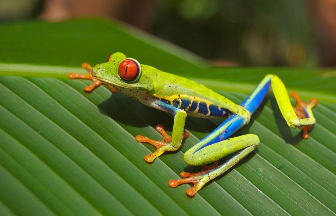 amphibian animal close-up frog leaf macro wallpaper