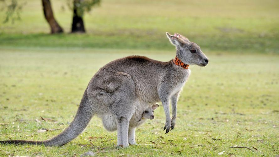 animales marsupial canguro wallpaper