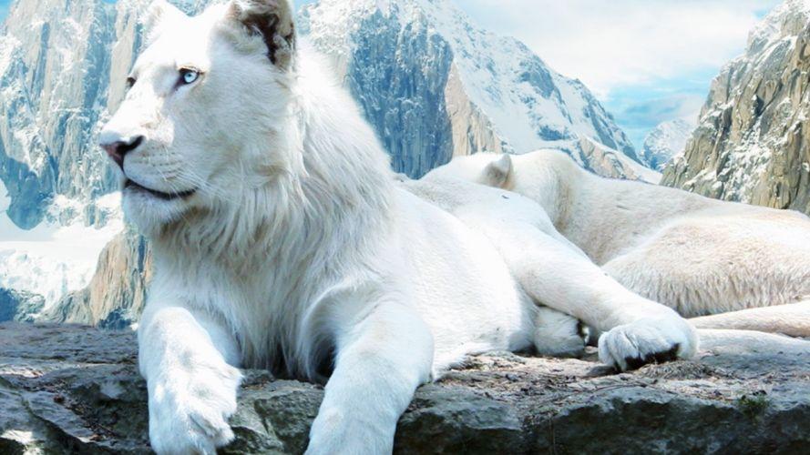leones albinos mamiferos depredador wallpaper