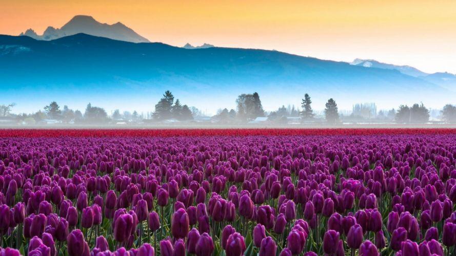 purple tulips field wallpaper