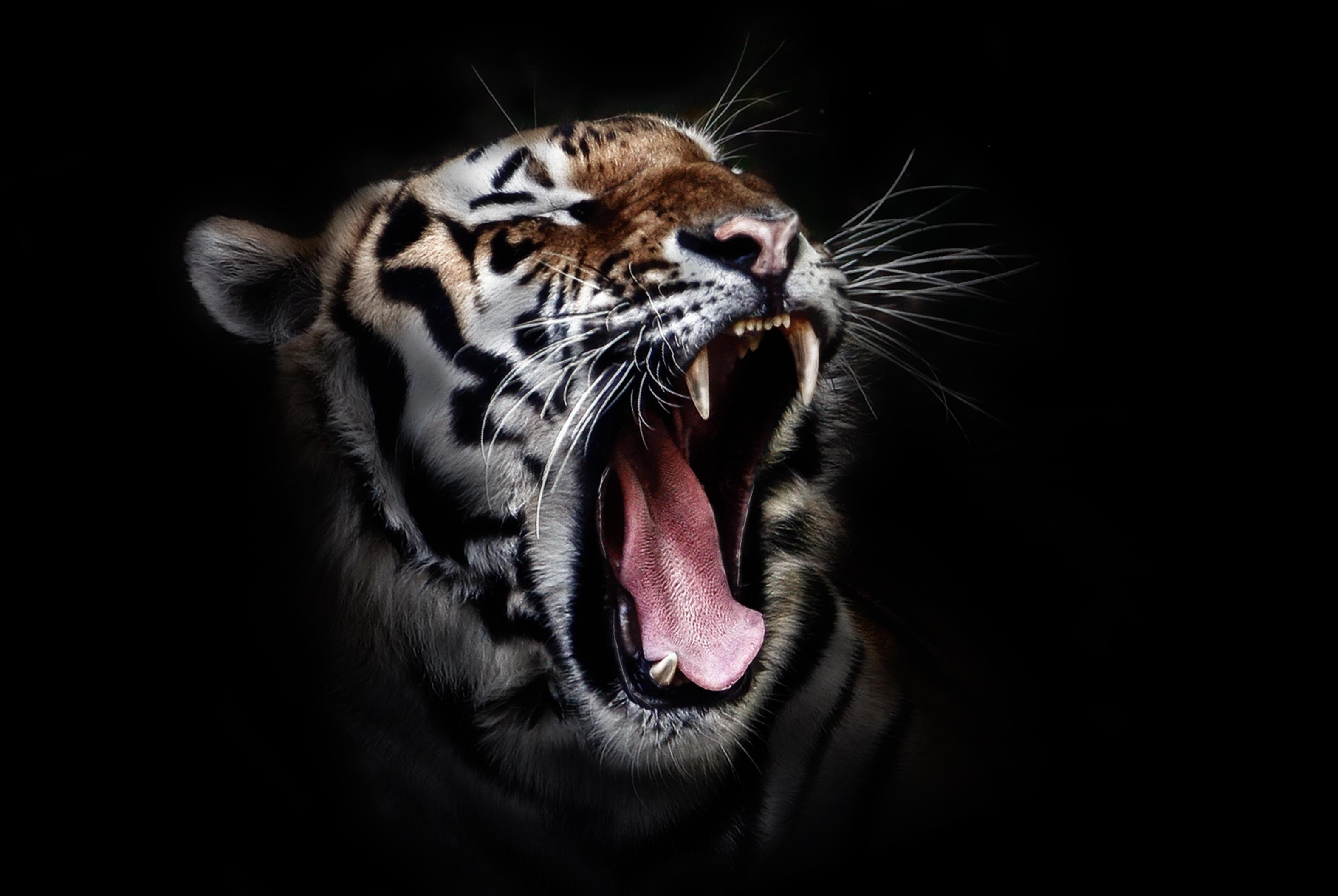 Animal animal photography big cat close-up tiger wild cat ...
