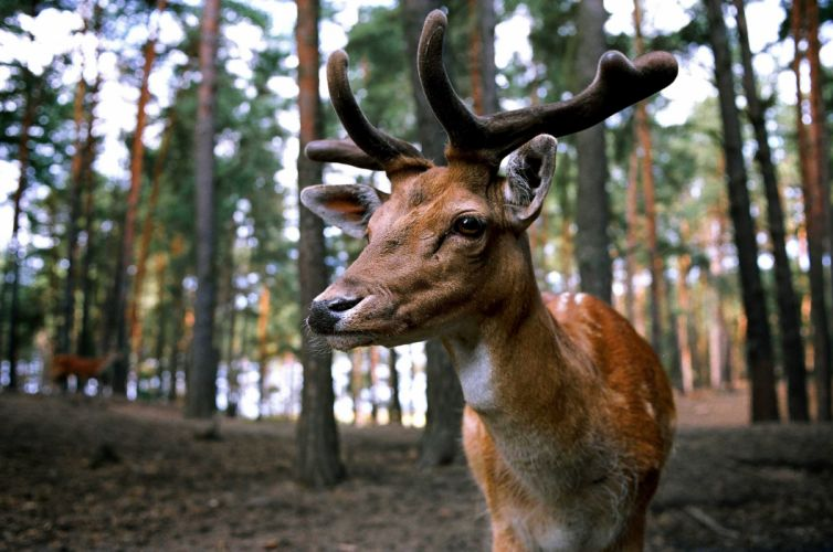 animal antlers close-up deer forest macro nature outdoors wildlife wallpaper