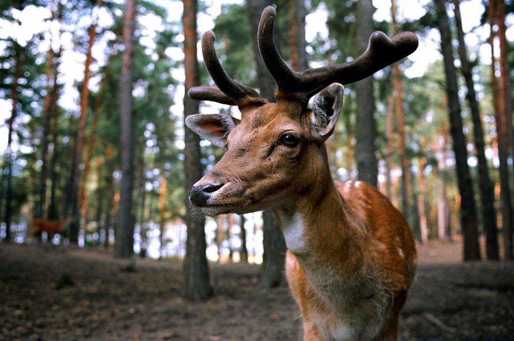 animal antlers close-up deer forest macro nature outdoors wildlife wallpaper