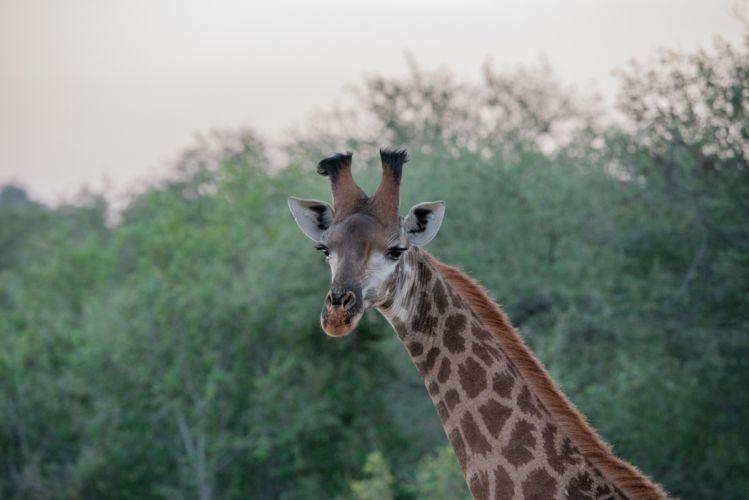 animal animal photography close-up giraffe nature trees wallpaper
