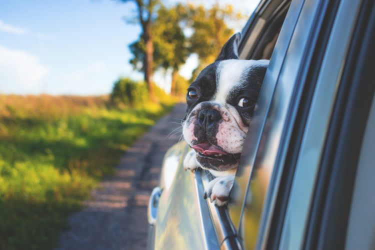 adorable animal canine car cute dog grass pet window wallpaper