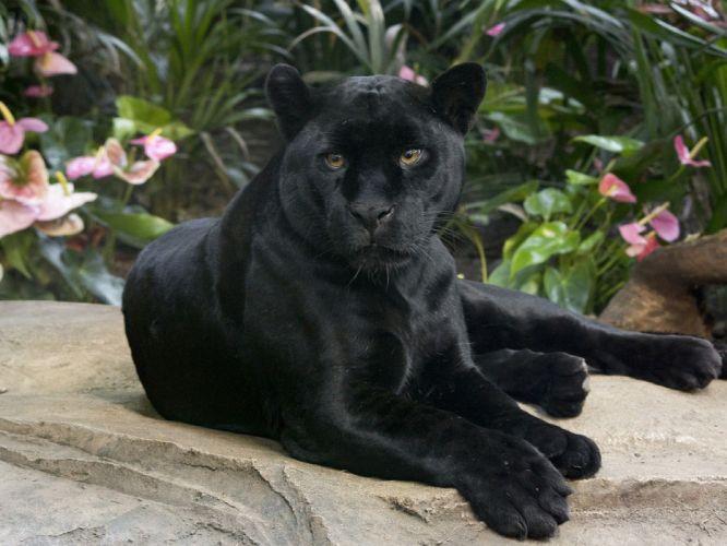black panther wild cat the jaguar the handsome look wallpaper