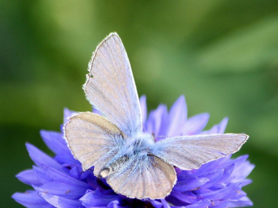 flowers blue flowers butterfli wallpaper