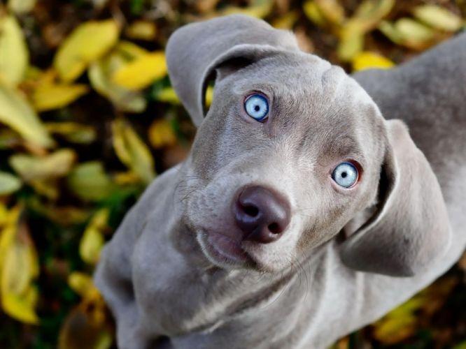 Gray dog with blue eyes dogblue eyesfacelookmuzzle wallpaper