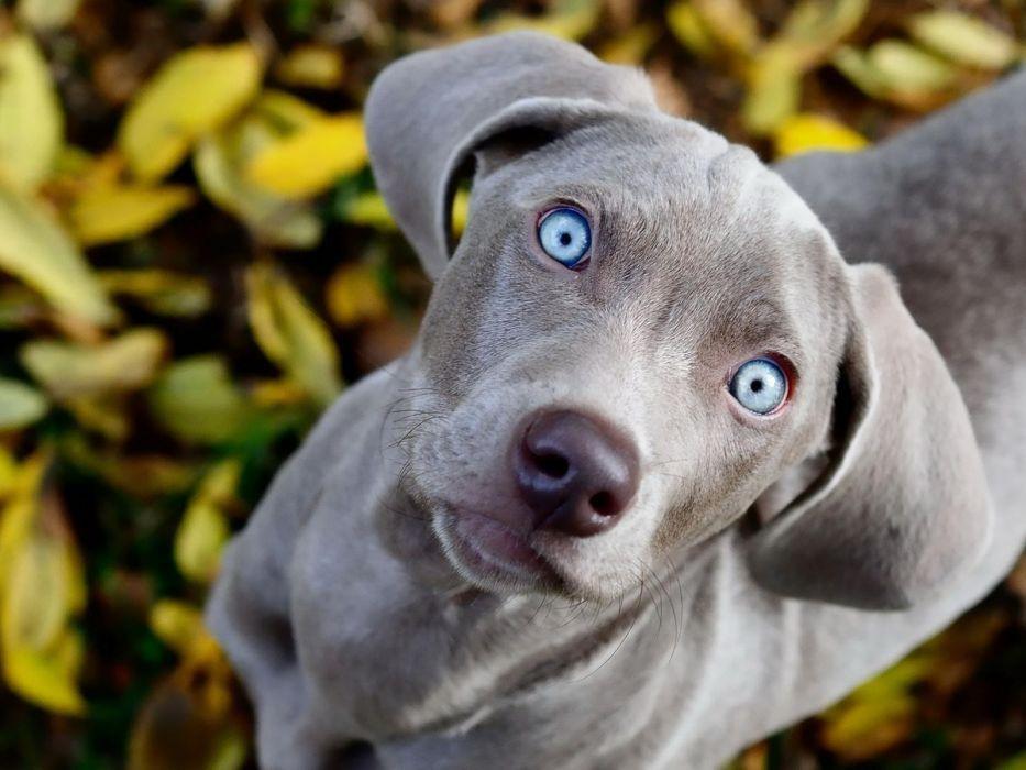 grey dog with blue eyes