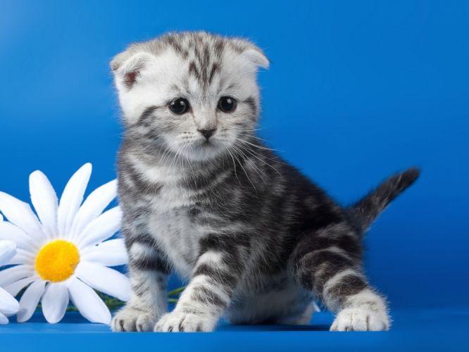 Lop-eared kitten wallpaper