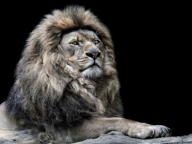 old lion leo lion man experience wallpaper