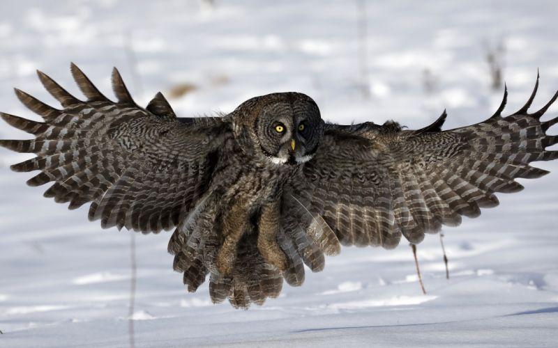 owl snow wings wallpaper