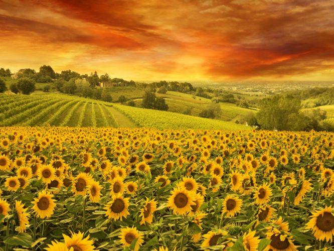 Sky Nature Landscape Field Sunflowers wallpaper