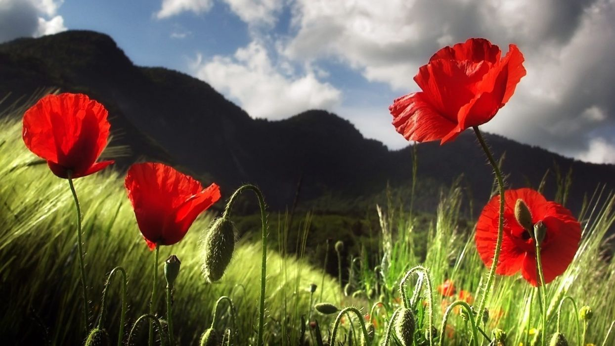 flower-red-white-mountain-nature-flowers-sky-poppy-beautiful wallpaper