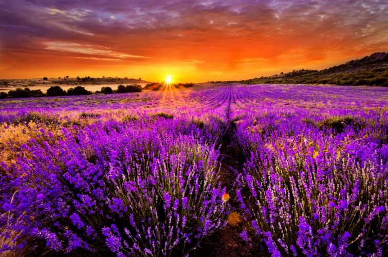 sunset at lavender field wallpaper
