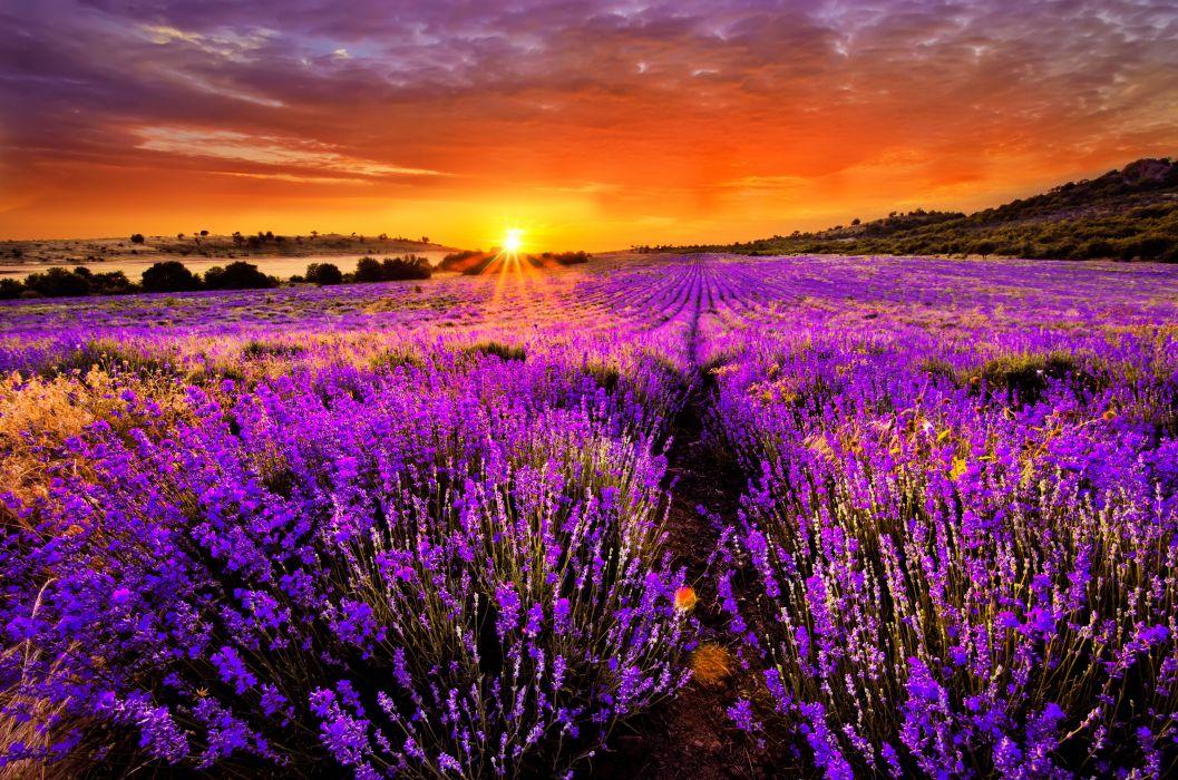 sunset at lavender field wallpaper