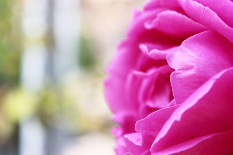 beautiful bloom blooming blossom blur bright close-up color flora flower flower petals flowers focus macro nature petals rose wallpaper