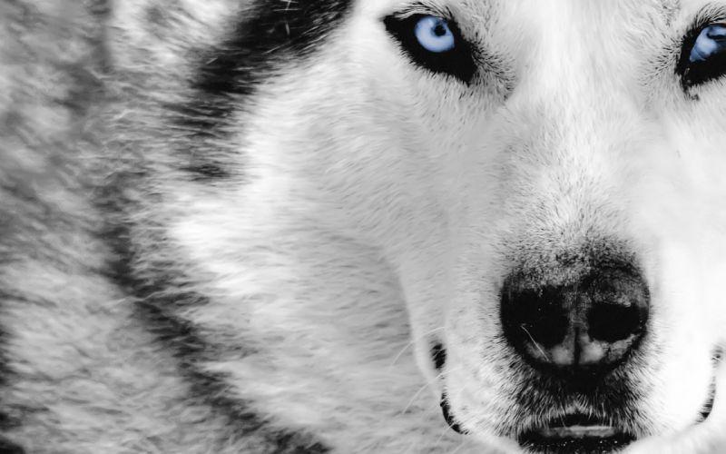 Dogs Husky Animals wallpaper