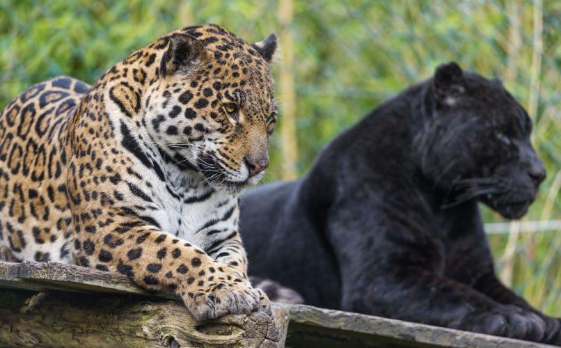 Big cats Jaguars Panthers Animals wallpaper