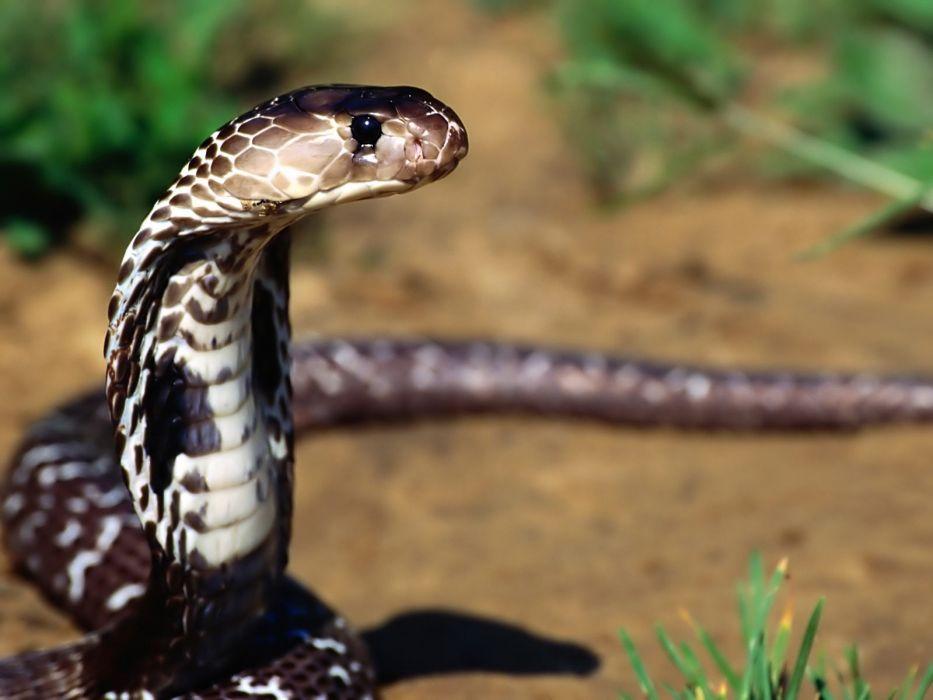 Snakes Animals wallpaper