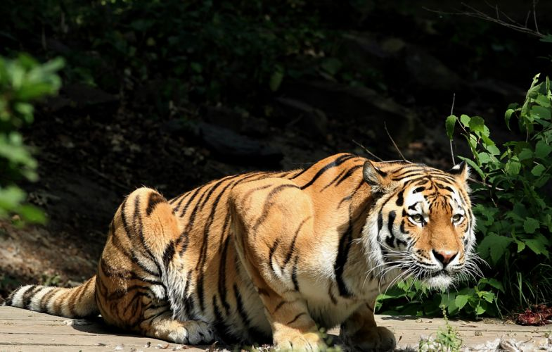 Tigers Glance Animals wallpaper