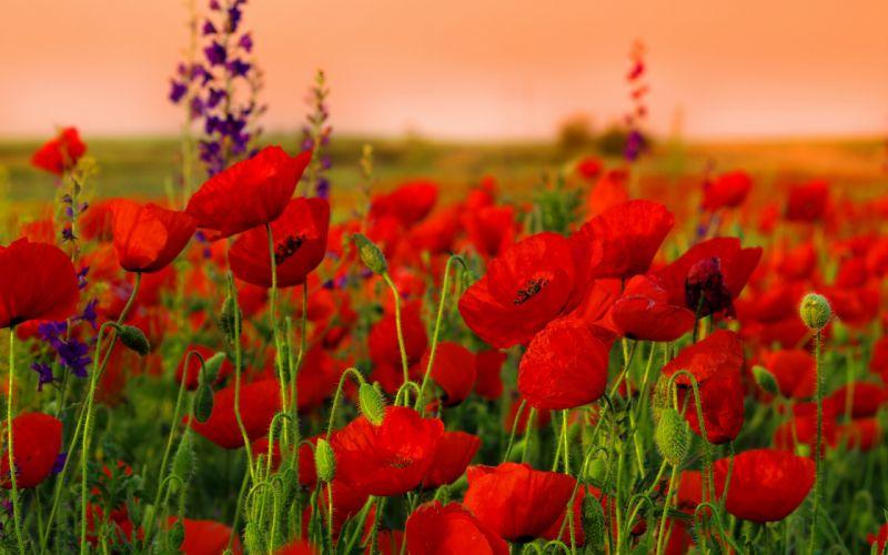 red-poppies-field-1 wallpaper